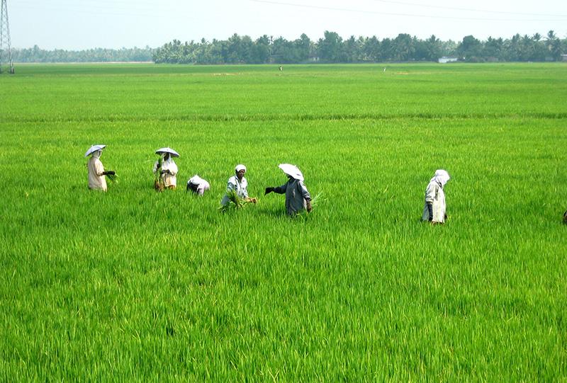 Paddy Field Kuttanad