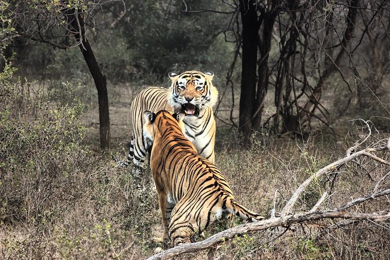 Ranthambore National Park Tigers Sawai Madhopur Rajasthan